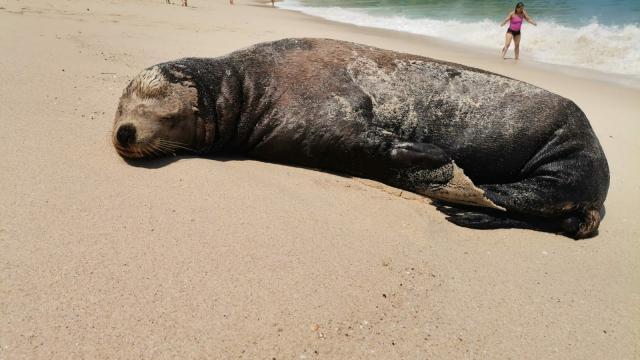 Reportan león marino muerto; estaba descansando