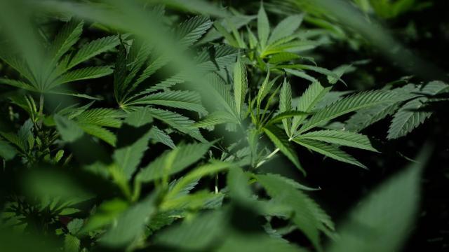 Vía libre al uso recreativo de la marihuana en México