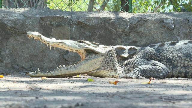 """Biólogo recuerda que """"vivimos en zona de cocodrilos"""""""