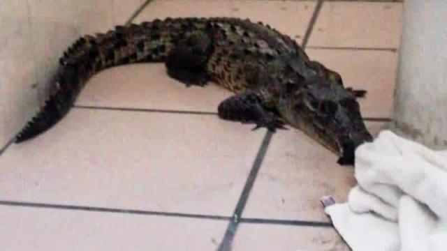 Aparece otro cocodrilo en Vallarta; ahora en Punta Mita