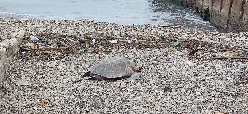 Encuentran tortuga muerta y la llevan ¡A la basura!