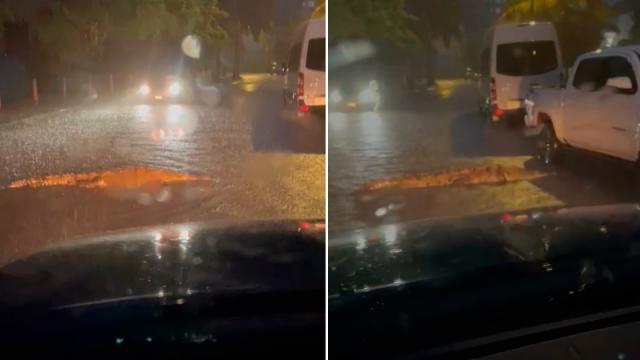 Pasea cocodrilo en Marina Vallarta bajo la tromba de hoy