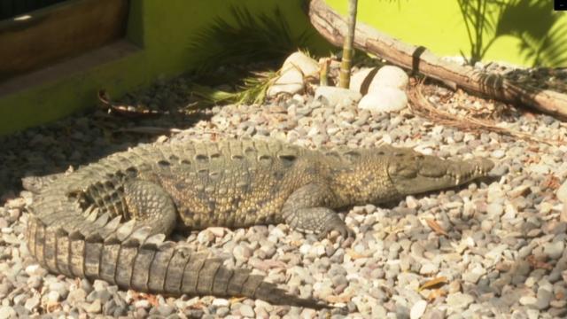 300 cocodrilos habitan en la Bahía de Banderas