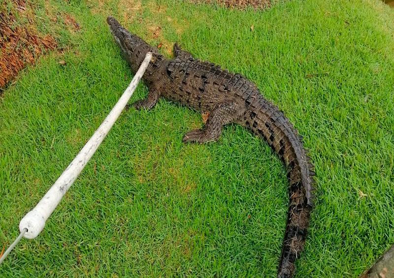 Atrapan cocodrilo en hotel de Marina Vallarta