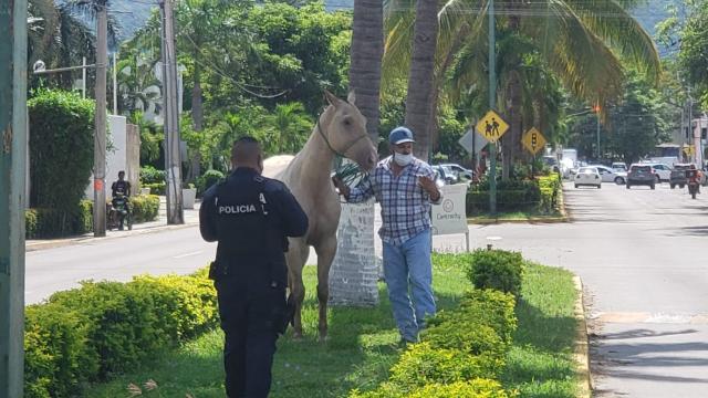 Fomento Agropecuario asegura caballos que deambulaban