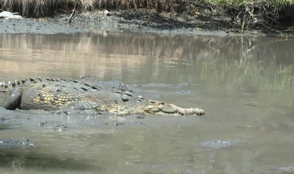 Hasta 100 cocodrilos podrían haber sido arrastrados al mar