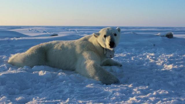 Oso polar en Groenlandia es condenado a muerte