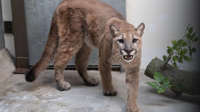 Sasha, puma salvaje rescatado en NY