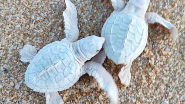 Nacen tortuguitas golfinas albinas en Los Cabos: