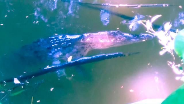 Descubren pequeño cocodrilo en la Laguna de El Coapinole