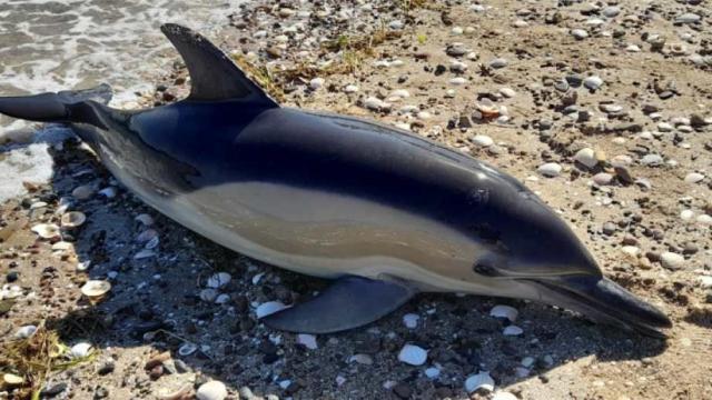 Delfines encontrados muertos al sur de Buenos Aires, Argentina
