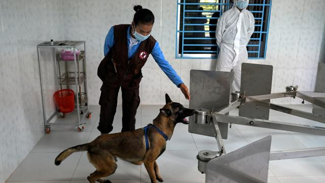 Camboya entrena perros para detectar el Covid-19